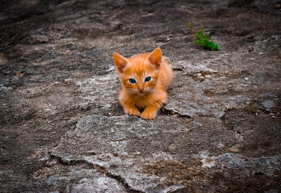 Cat, Animals, Nature, Animal, Feline, Kitten, Cat Hair