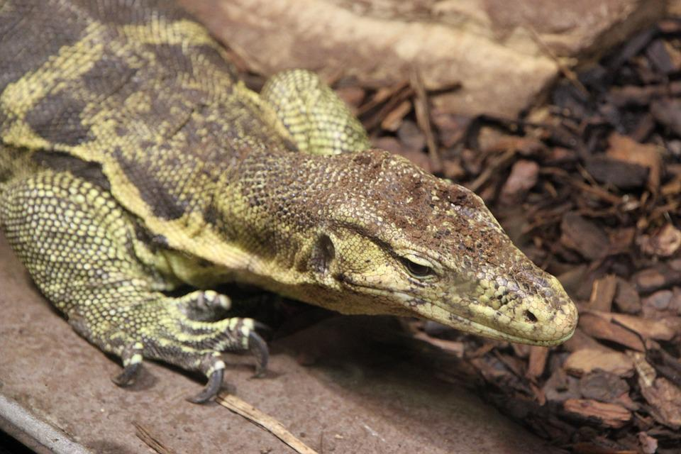 Lizard, Animals, Reptile, Animal