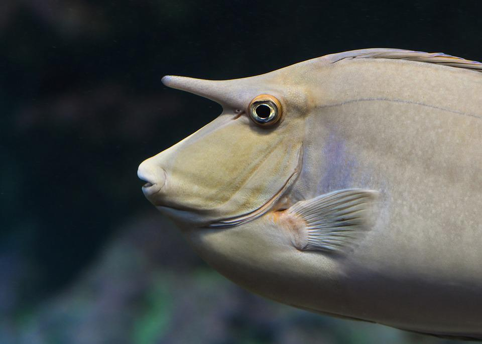 Fish, Horn, Aquarium, Animal, Exotic, Swim