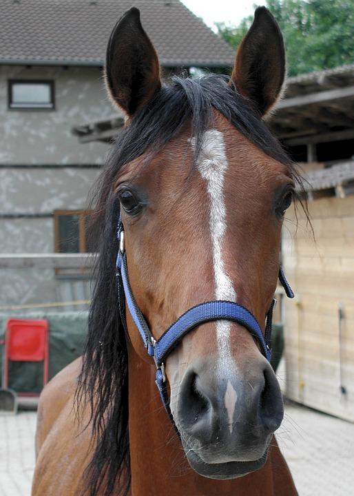 Horse, Arabs, Horse Head, Animal