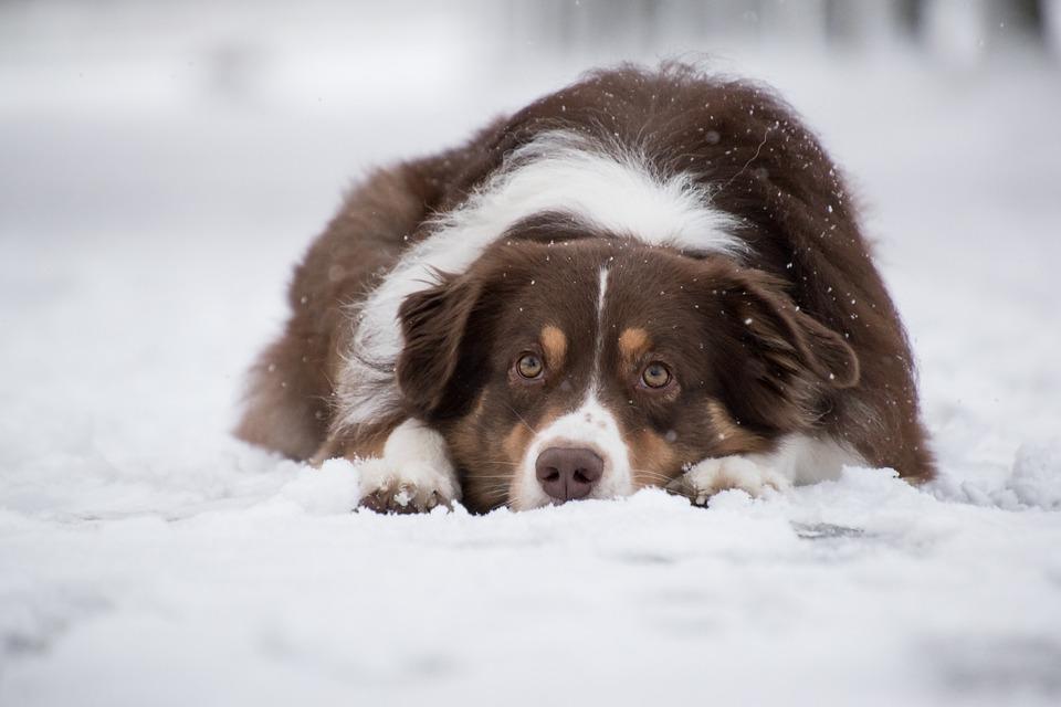 Australian Shepherd, Dog, Snow, Snowing, Pet, Animal