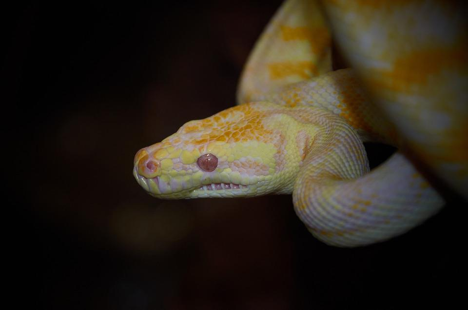 Snake, Australian Wildlife, Reptile, Animal, Skin