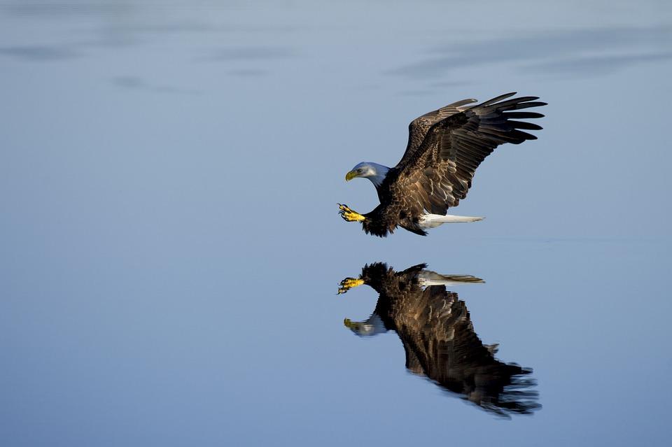 Animal, Eagle, Avian, Beak, Bird, Flight, Fly, Outdoors
