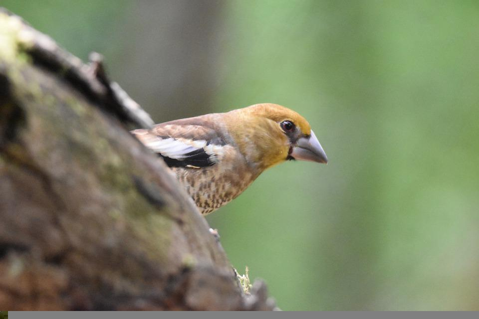 Juvenile Hawfinch, Bird, Animal, Avian, Closeup, Nature