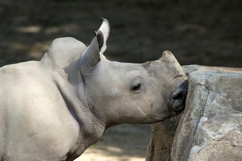 Rhino, White Rhino, Baby Rhino, Young Animal, Animal