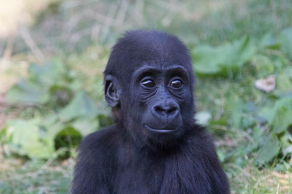 Gorilla, Zoo, Moment, Baby, Animal, Cute, Smile