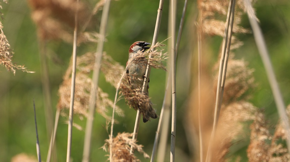 Reed, Bird, Sparrow, Bank, Animal, Camouflage, Lake