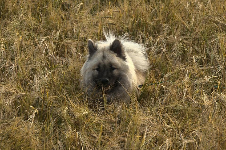 Dog, Barley Field, Eurasians, Animal, Cereals, Summer