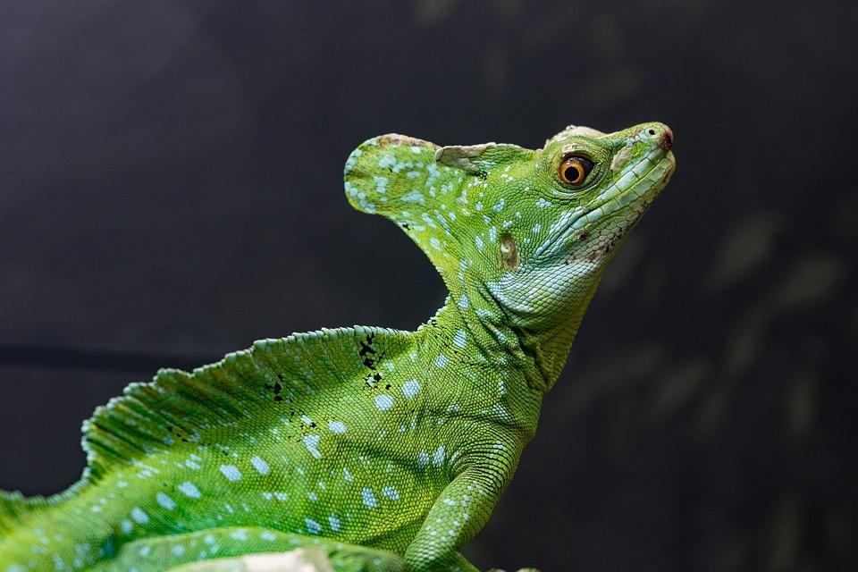 Basilisk, Lizard, Animal, Reptile, Wildlife, Exotic