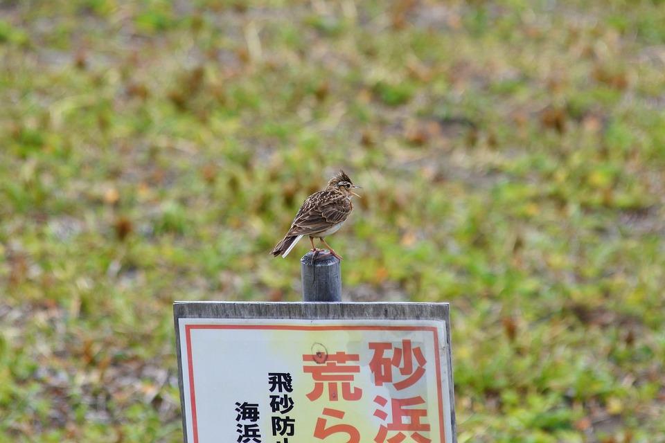 Animal, Beach, Grass, Little Bird, Lark, Wild Birds