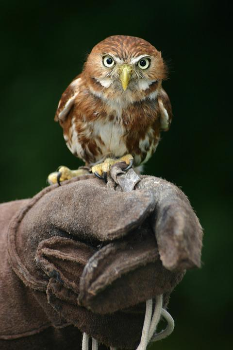 Animal, Owl, Beak, Bird, Bird Of Prey, Feathers, Gloves