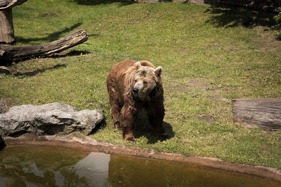 Bear, Brown Bear, Predator, Animal, Dangerous