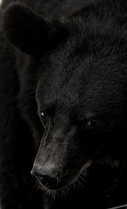 Bear, The Bear, Animal, Natural, Mammal, Brown Bear