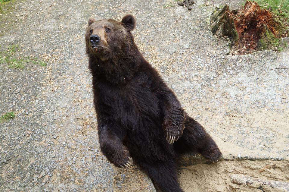 Bear, Wild Animal, Predator, Brown Bear, Animal