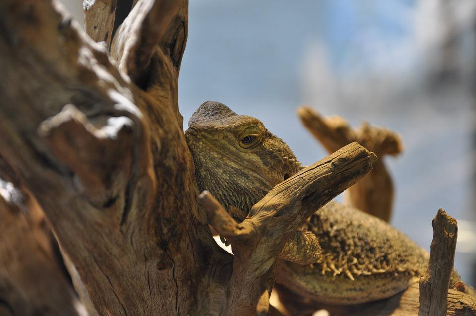 Bearded Dragon, Reptile, Terrarium, Animal, Zoo, Nature