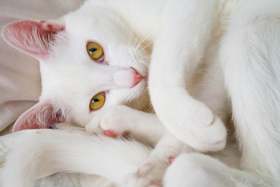 Cat, White, Animal, Kitten, Portrait, Pet, Beautiful