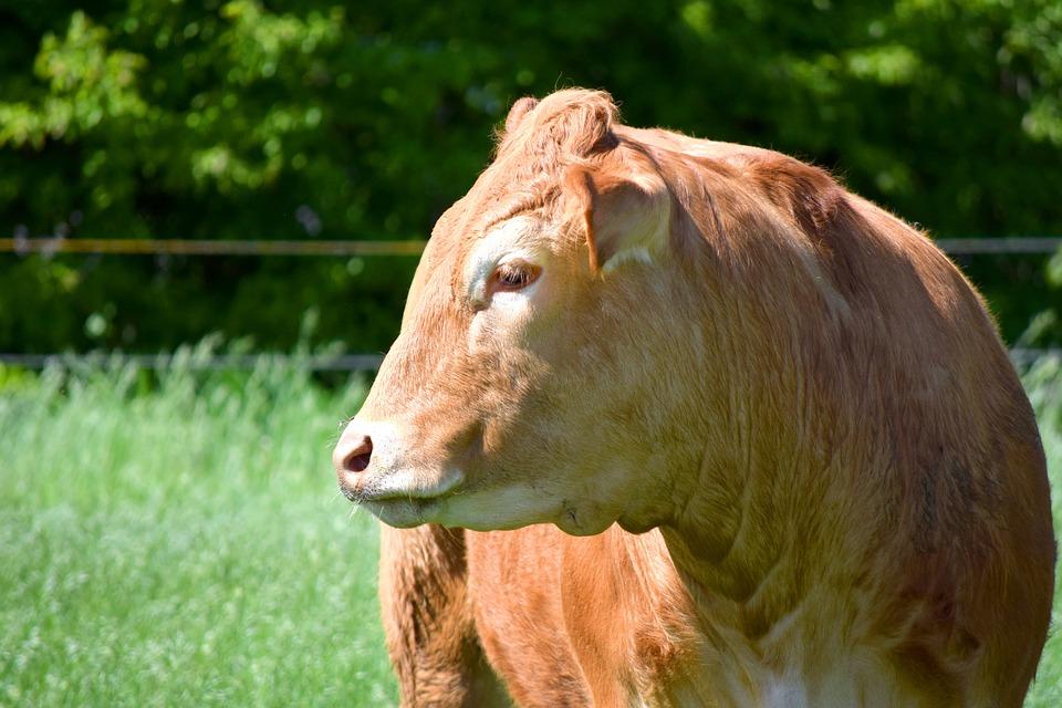 Cow, Beef, Grass, Nature, Animal, Mammal