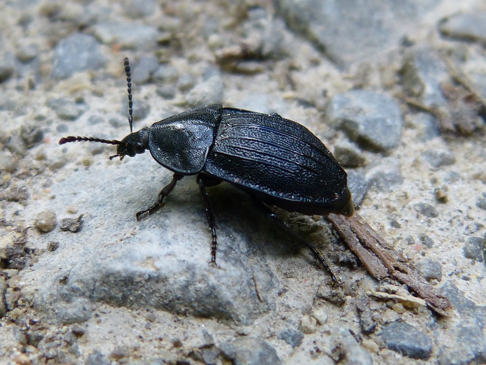 Animal, Insect, Beetle, Macro, Close, Insect Macro