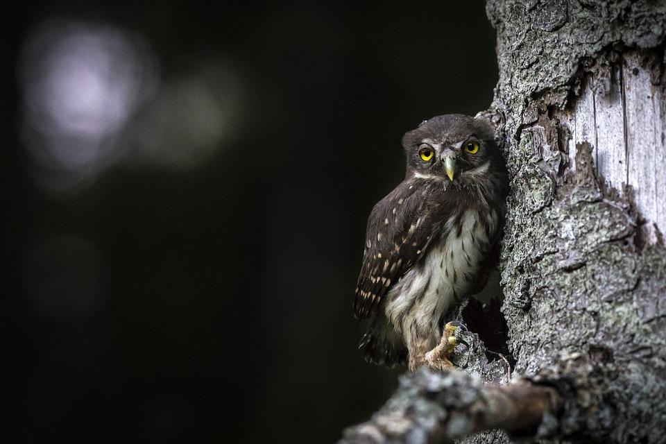 Owl, Bird, Animal, Bark, Eurasian Pygmy Owl