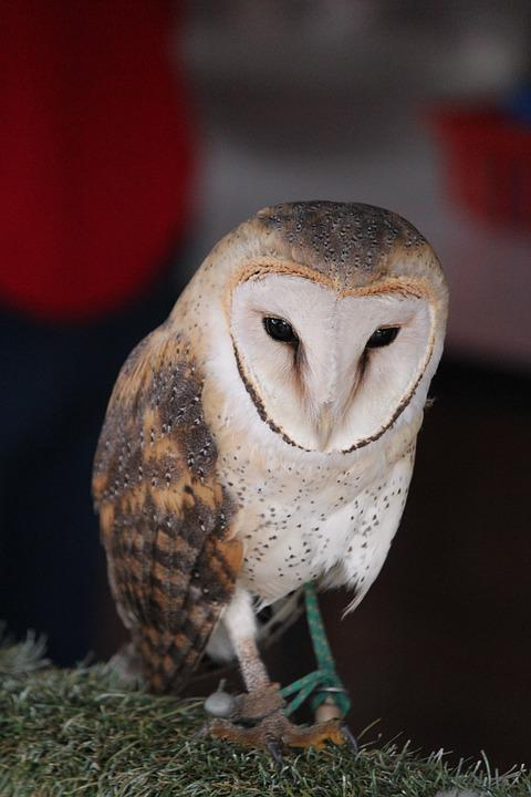Barn Owl, Owl, Bird, Animal, Wildlife
