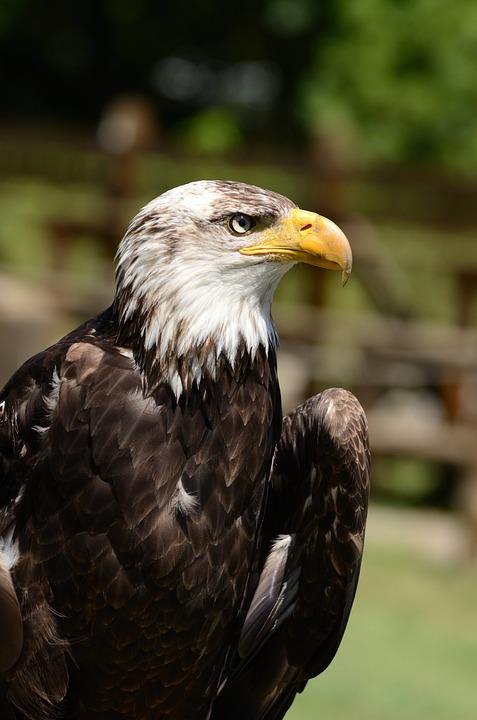 Eagle, Bird, Animal, Juvenile, Bird Of Prey, Raptor