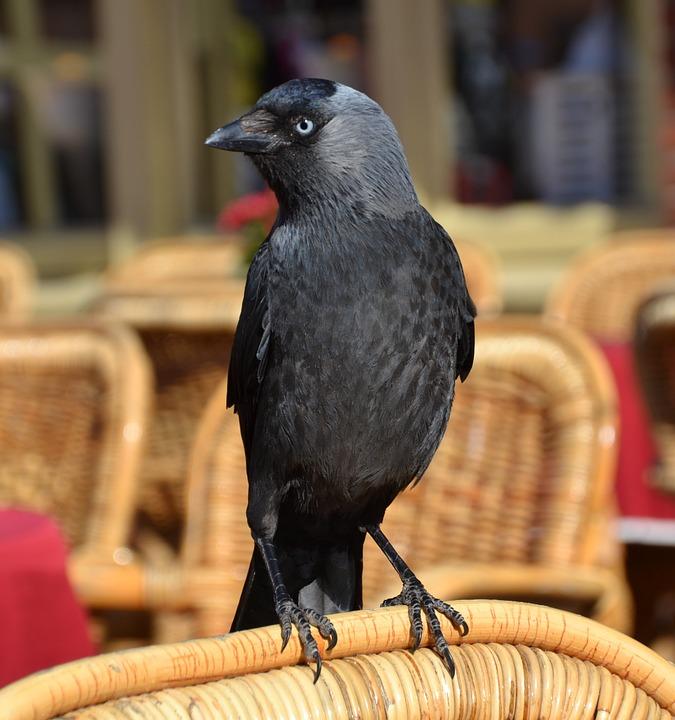 Jackdaw, Bird, Animal, Black, Flying, Raven