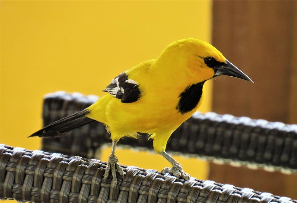 Bird, Yellow, The Birds, Wild Animals, Cam, Animal