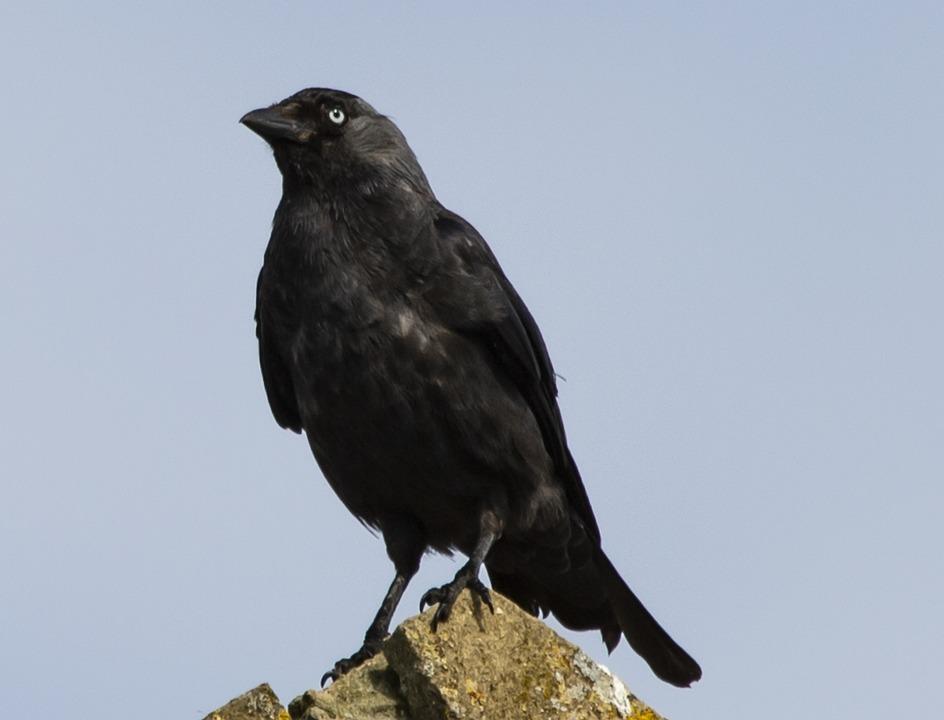 Jackdaw, Crow, Bird, Beak, Animal, Nature