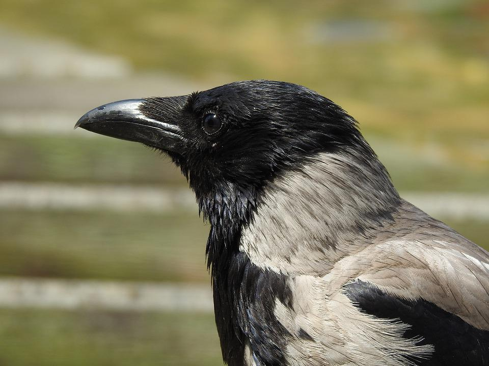 Crow, Head, Bill, Bird, Animal, Raven, Raven Bird