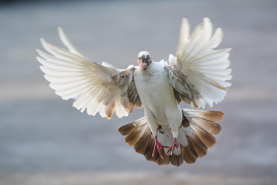 Dove, Bird, An, Animal, Flight