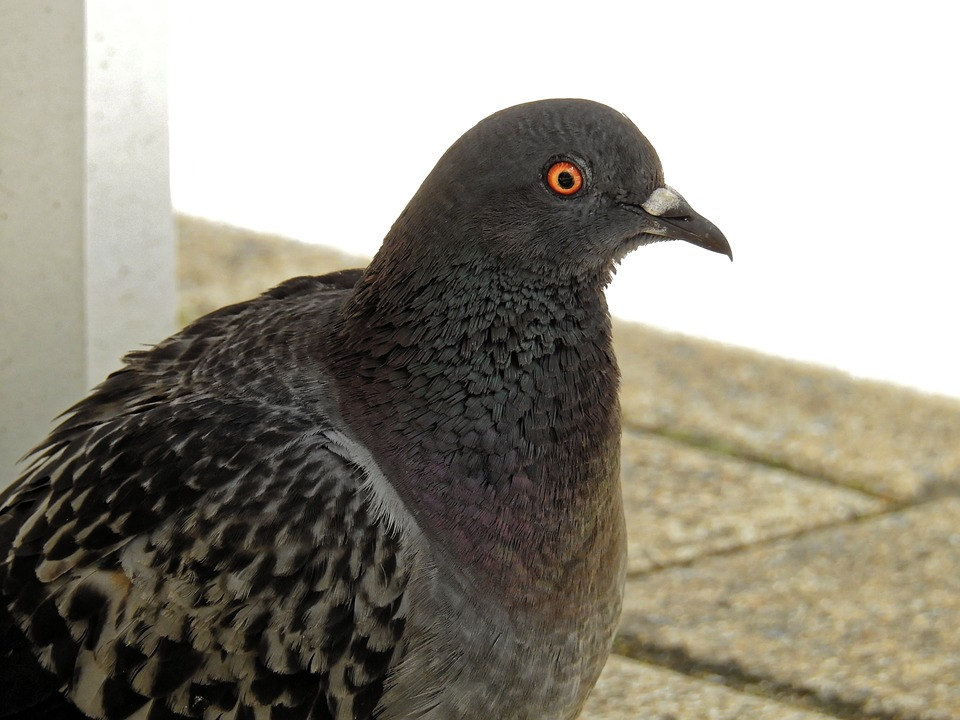 Dove, Bird, Animal, Nature