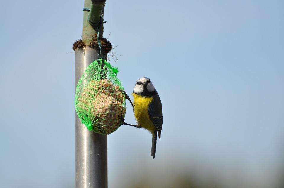 Blue Tit, Bird, Fat Ball, Bird Food, Tit, Animal