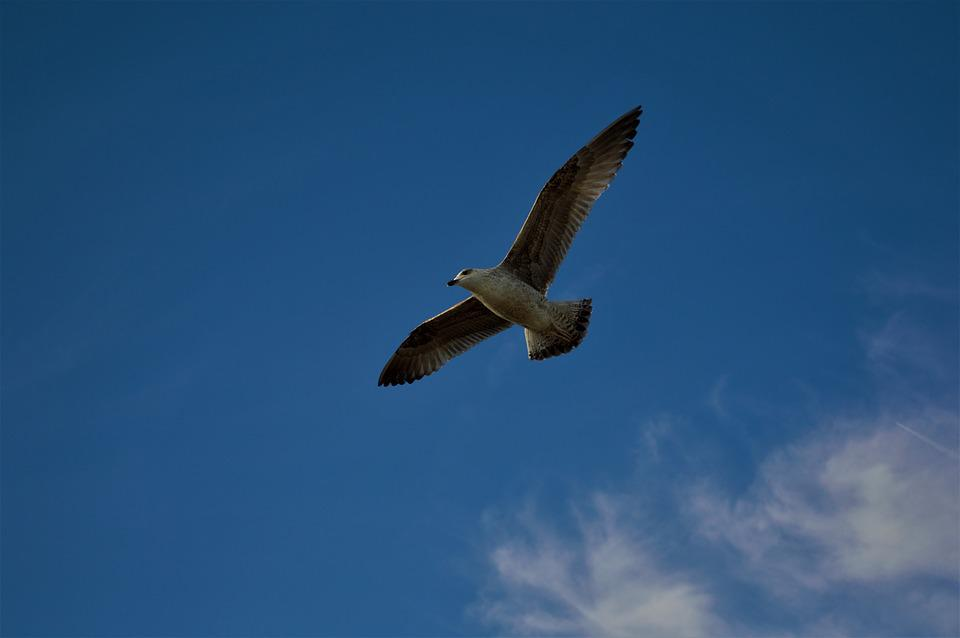 Bird, Sky, Clouds, Fly, Animal, Nature, Seagull
