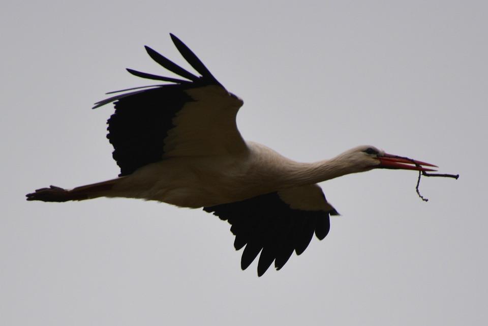 Stork, Animal, Bird, Fly