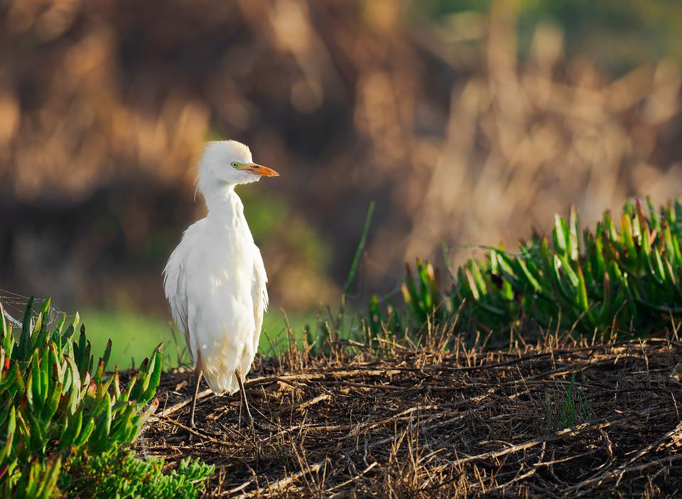 Intermediate Egret, Bird, Egret, Animal, Nature