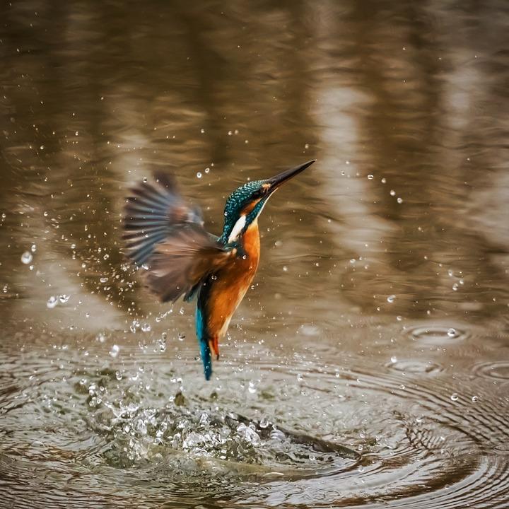 Kingfisher, Bird, Alcedo Atthis, Winged, Animal