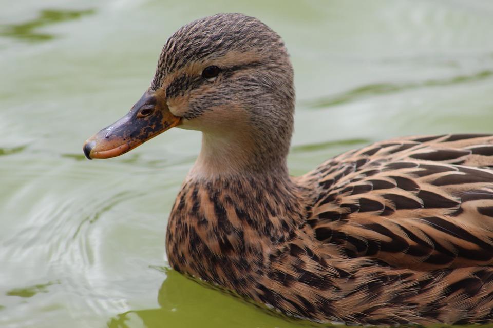 Duck, Bird, Wildlife, Pool, Nature, Wild, Animal, Wing