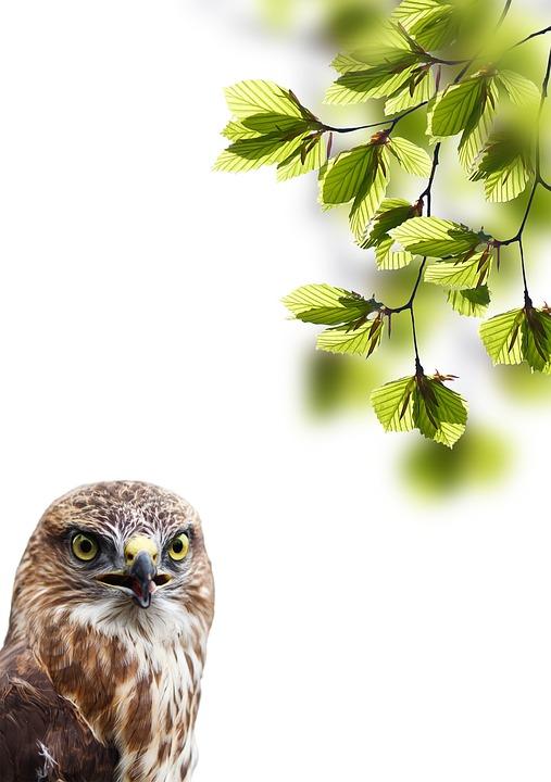 Bird, Buzzard, Bird Of Prey, Animal, Aesthetic