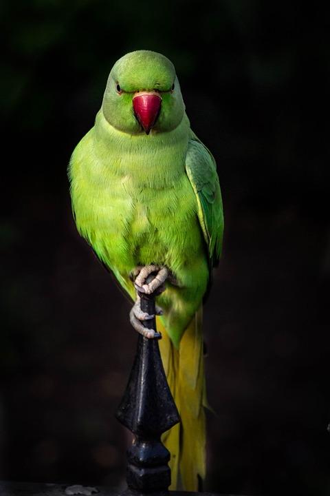 Parrot, Bird, Colorful, Plumage, Parrots, Birds, Animal