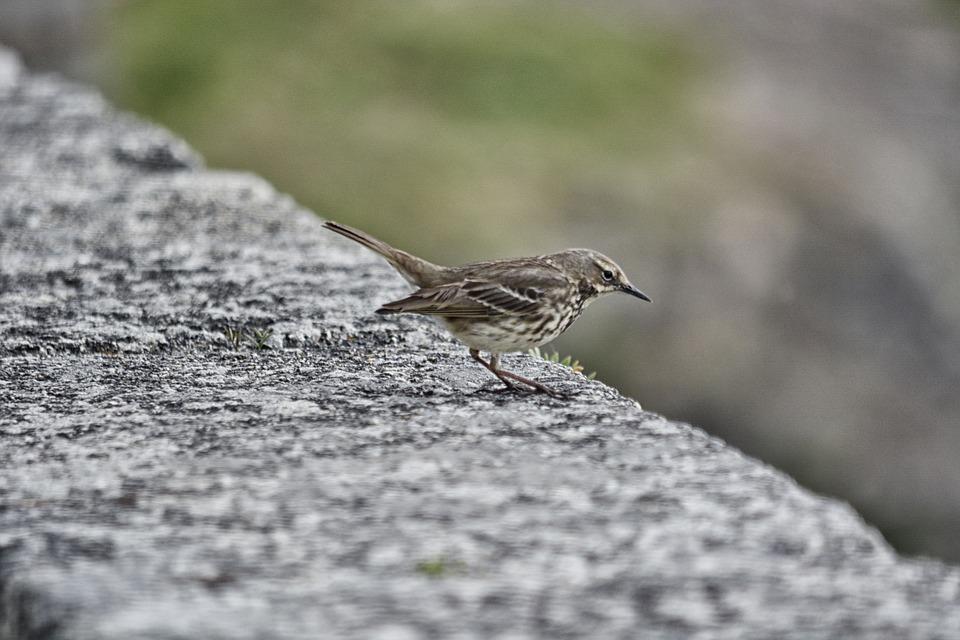 Sparrow, Bird, Animal, Feathers, Ornithology