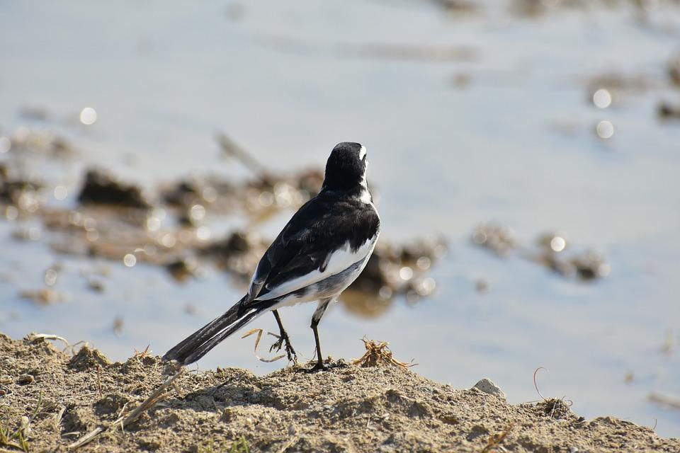 Animal, Paddy Field, Waterside, Bird, Wild Birds