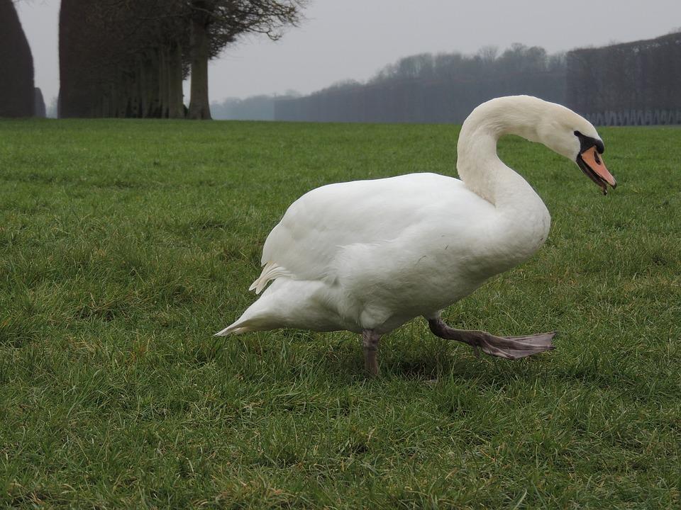 Swan, Grass, Versailles, Animal, Green, Bird, Wildlife