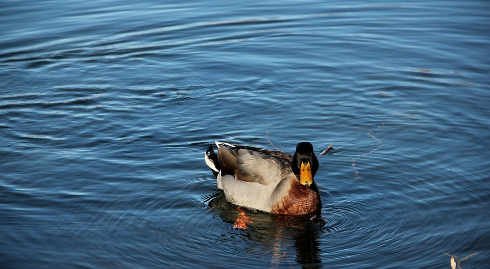 Duck, Lake, Nature, Water, Animal, Italy, Birds