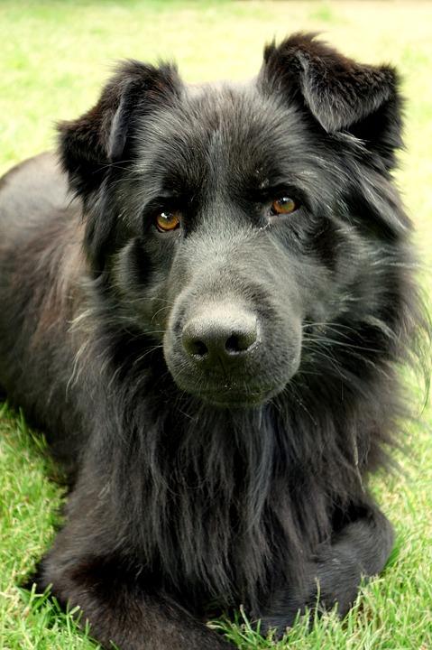 Dog, Animal, Fur, Doggy, And The Tramp, Black, Closeup