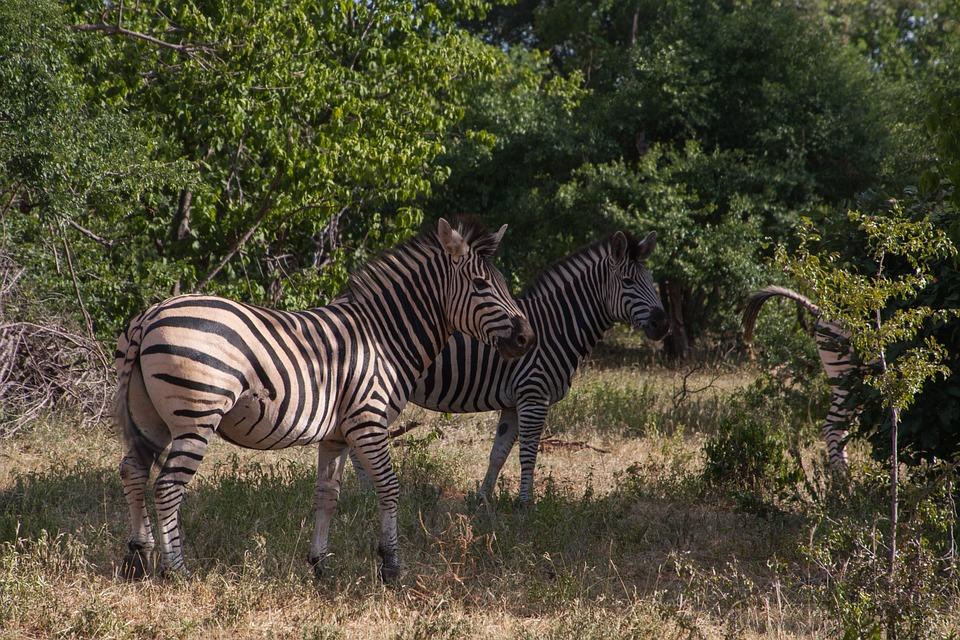 South Africa, Zebra, Animal, Black And White, Safari