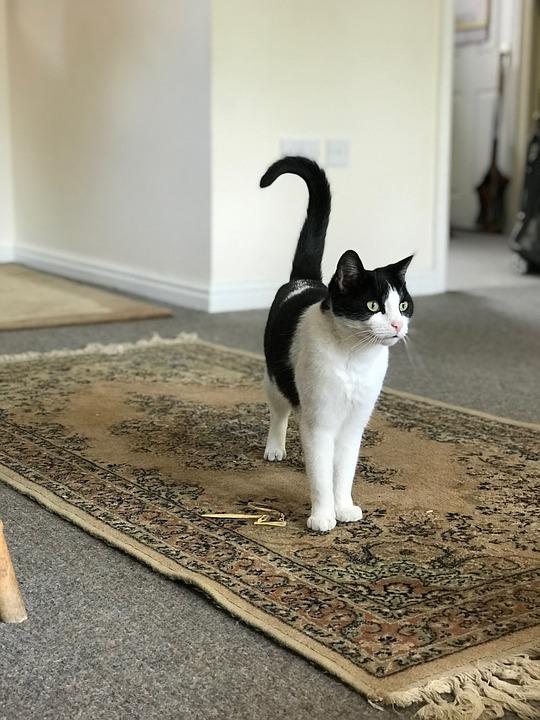 Black And White, Cat, Pet, Black, White, Animal, Kitten
