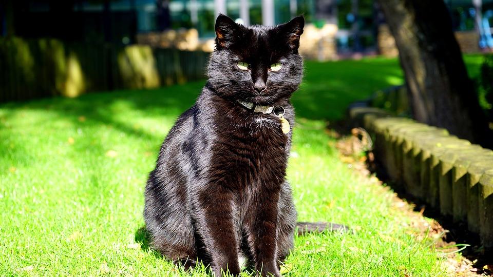 Cat, Black, Black Cat, Animal, Pet, Feline, Domestic