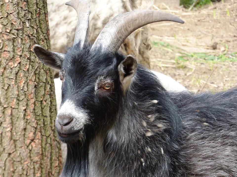 Animal, Buck, Does, Coat, Black, Fur, Horns