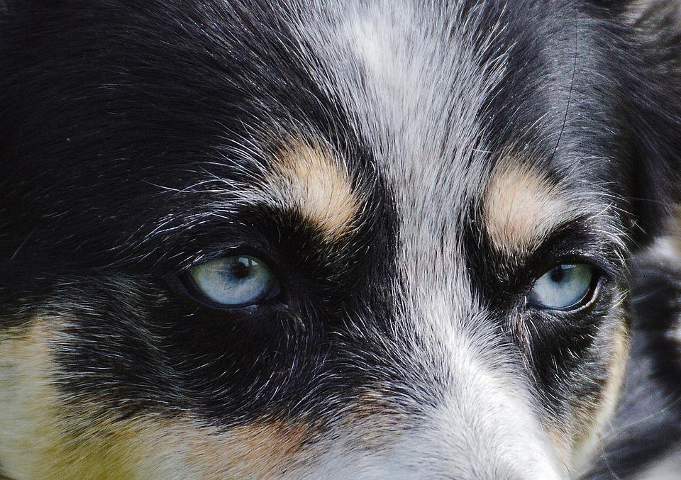 Husky, Eyes, Head, Dog, Animal, Pet, Black, White