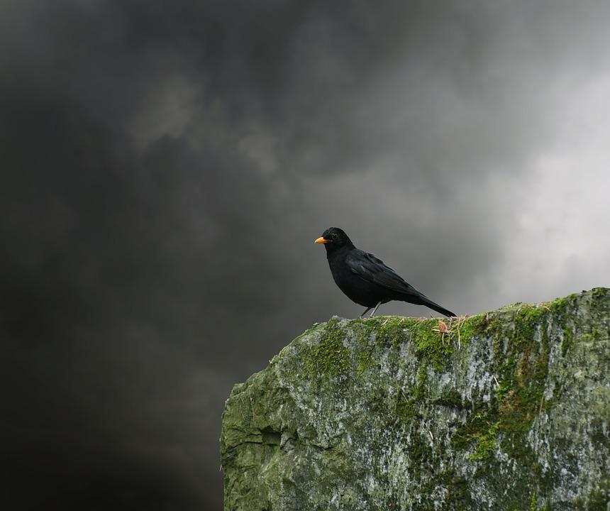 Blackbird, Bird, Songbird, Black, Animal, Birds